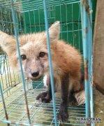 学校发现狐狸 动物园鉴定是只赤狐